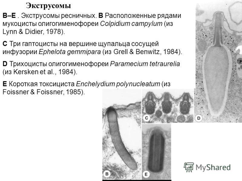 Экструсомы B–E. Экструсомы ресничных. B Расположенные рядами мукоцисты олигогименофореи Colpidium campylum (из Lynn & Didier, 1978). C Три гаптоцисты на вершине щупальца сосущей инфузории Ephelota gemmipara (из Grell & Benwitz, 1984). D Трихоцисты ол