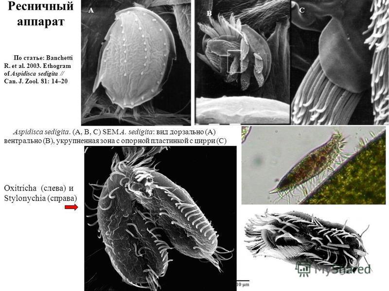 Ресничный аппарат Aspidisca sedigita. (A, B, C) SEM A. sedigita: вид дорзальной (A) вентральной (B), укрупненная зона с опорной пластинкой с цирки (C) По статье: Banchetti R. et al. 2003. Ethogram of Aspidisca sedigita // Can. J. Zool. 81: 14–20 Oxit