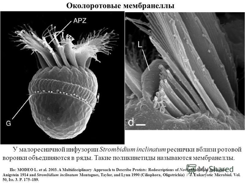 Околоротовые мембранеллы У малоресничной инфузории Strombidium inclinatum реснички вблизи ротовой воронки объединяются в ряды. Такие поликинетиды называются мембранеллы. По: MODEO L. et al. 2003. A Multidisciplinary Approach to Describe Protists: Red