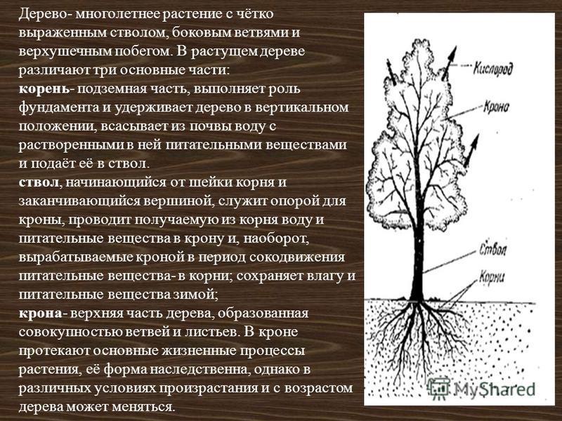 Дерево- многолетнее растение с чётко выраженным стволом, боковым ветвями и верхушечным побегом. В растущем дереве различают три основные части: корень- подземная часть, выполняет роль фундамента и удерживает дерево в вертикальном положении, всасывает