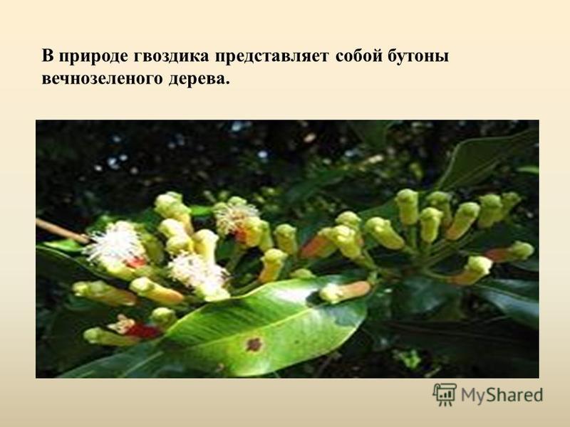 В природе гвоздика представляет собой бутоны вечнозеленого дерева.