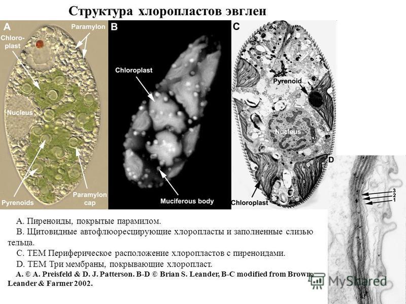 Структура хлоропластов эвглен A. Пиреноиды, покрытые парамилом. B. Щитовидные авто флюоресцирующие хлоропласты и заполненные слизью тельца. C. ТЕМ Периферическое расположение хлоропластов с пиреноидами. D. ТЕМ Три мембраны, покрывающие хлоропласт. А.