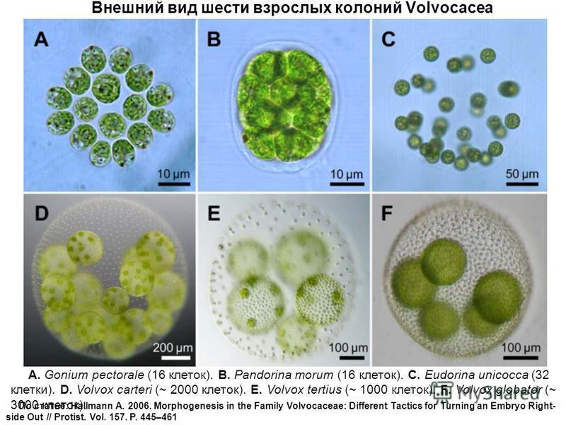 Внешний вид шести взрослых колоний Volvocacea A. Gonium pectorale (16 клеток). B. Pandorina morum (16 клеток). C. Eudorina unicocca (32 клетки). D. Volvox carteri (~ 2000 клеток). E. Volvox tertius (~ 1000 клеток). F. Volvox globator (~ 3000 клеток).