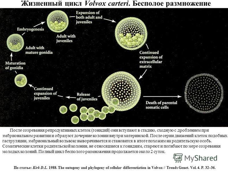 Жизненный цикл Volvox carteri. Бесполое размножение После созревания репродуктивных клеток (гонидий) они вступают в стадию, сходную с дроблением при эмбриональном развитии и образуют дочерние колонии внутри материнской. После серии движений клеток по