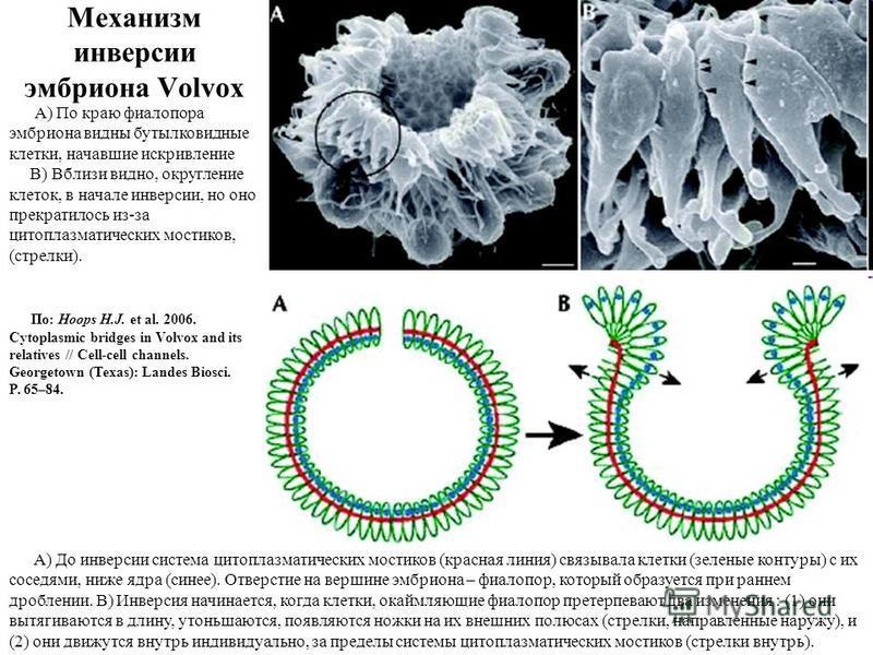 Механизм инверсии эмбриона Volvox А) По краю фиалопора эмбриона видны бутылковидные клетки, начавшие искривление B) Вблизи видно, округление клеток, в начале инверсии, но оно прекратилось из-за цитоплазматических мостиков, (стрелки). A) До инверсии с