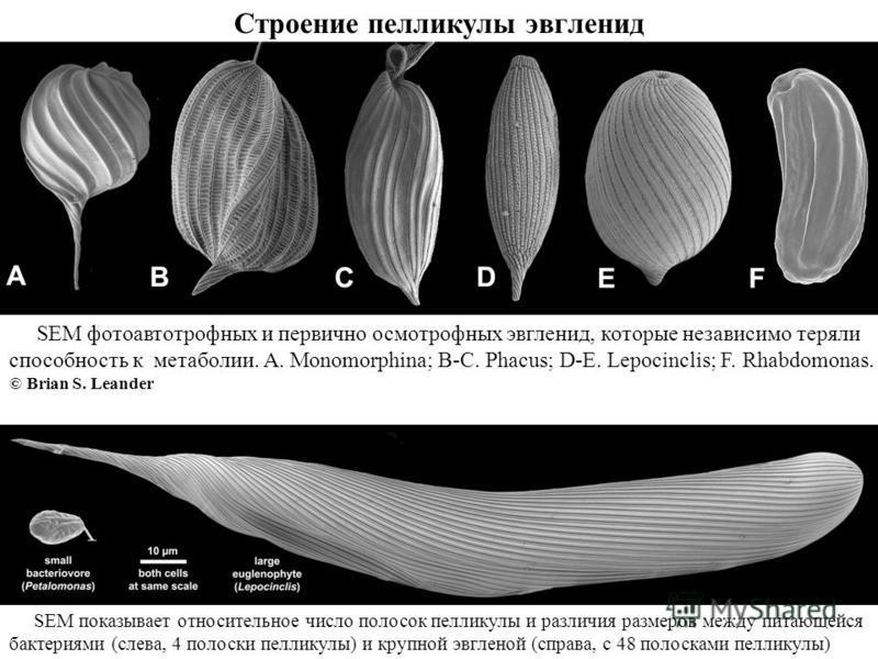 Строение пелликулы эвгленид SEM показывает относительное число полосок пелликулы и различия размеров между питающейся бактериями (слева, 4 полоски пелликулы) и крупной эвгленой (справа, с 48 полосками пелликулы) SEM фотоавтотрофных и первично осмотро