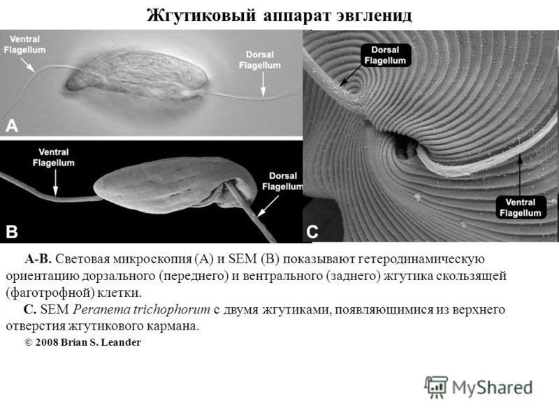 Жгутиковый аппарат эвгленид A-B. Световая микроскопия (A) и SEM (B) показывают гетеродинамическую ориентацию дорзального (переднего) и вентрального (заднего) жгутика скользящей (фаготрофной) клетки. C. SEM Peranema trichophorum с двумя жгутиками, поя