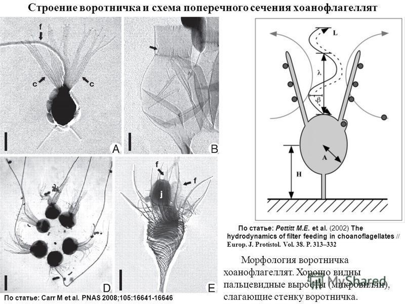 Строение воротничка и схема поперечного сечения хоанофлагеллят По статье: Pettitt M.E. et al. (2002) The hydrodynamics of filter feeding in choanoflagellates // Europ. J. Protistol. Vol. 38. P. 313–332 По статье: Carr M et al. PNAS 2008;105:16641-166