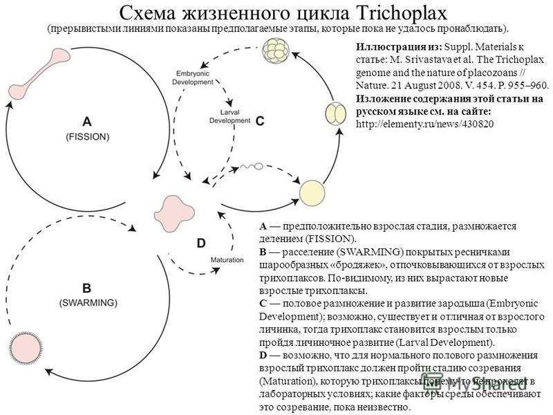 Схема жизненного цикла Trichoplax A предположительно взрослая стадия, размножается делением (FISSION). B расселение (SWARMING) покрытых ресничками шарообразных «бродяжек», отпочковывающихся от взрослых трихоплаксов. По-видимому, из них вырастают новы