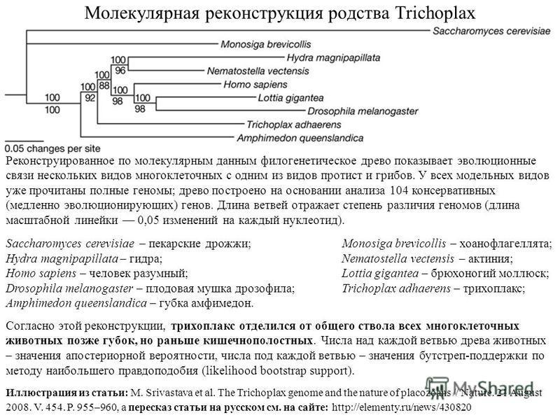Молекулярная реконструкция родства Trichoplax Реконструированное по молекулярным данным филогенетическое древо показывает эволюционные связи нескольких видов многоклеточных с одним из видов протист и грибов. У всех модельных видов уже прочитаны полны