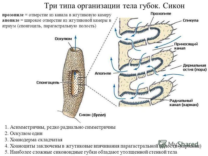 Три типа организации тела губок. Сикон 1. Асимметричны, редко радиально симметричны 2. Оскулюм один 3. Хоанодерма складчатая 4. Хоаноциты заключены в жгутиковые впячивания парагастральной полости (карманы) 5. Наиболее сложные сиконоидные губки облада