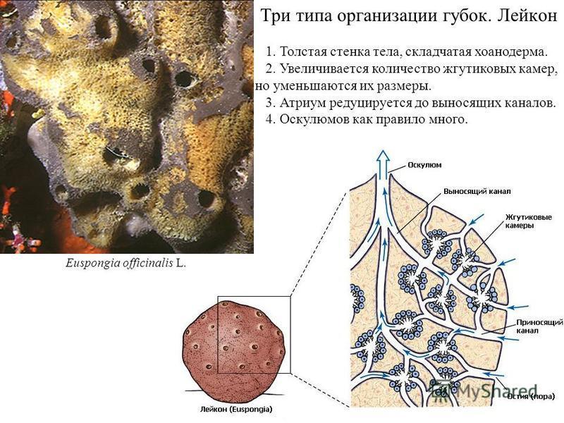 Три типа организации губок. Лейкон 1. Толстая стенка тела, складчатая хоанодерма. 2. Увеличивается количество жгутиковых камер, но уменьшаются их размеры. 3. Атриум редуцируется до выносящих каналов. 4. Оскулюмов как правило много. Euspongia officina