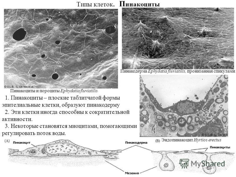 Типы клеток. П инакоциты Пинакоциты и пороциты Ephydatia fluviatilis Пинакодерма Ephydatia fluviatilis, пронизанная спикулами Эндопинакоцит Hyrtios erectus 1. Пинакоциты – плоские таблитчатой формы эпителиальные клетки, образуют пинакодерму 2. Эти кл