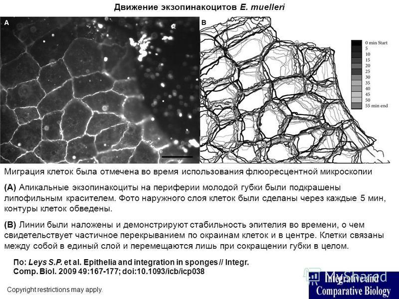 Движение экзопинакоцитов E. muelleri Copyright restrictions may apply. По: Leys S.P. et al. Epithelia and integration in sponges // Integr. Comp. Biol. 2009 49:167-177; doi:10.1093/icb/icp038 Миграция клеток была отмечена во время использования флюор