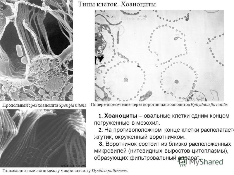 Типы клеток. Хоаноциты 1. Хоаноциты – овальные клетки одним концом погруженные в мезохил. 2. На противоположном конце клетки располагается жгутик, окруженный воротничком. 3. Воротничок состоит из близко расположенных микровилей (нитевидных выростов ц