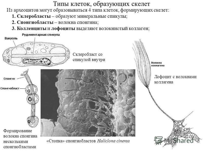 Типы клеток, образующих скелет Из археоцитов могут образовываться 4 типа клеток, формирующих скелет: 1. Склеробласты – образуют минеральные спикулы; 2. Спонгиобласты – волокна спонгина; 3. Колленциты и лофоциты выделяют волокнистый коллаген; Склеробл