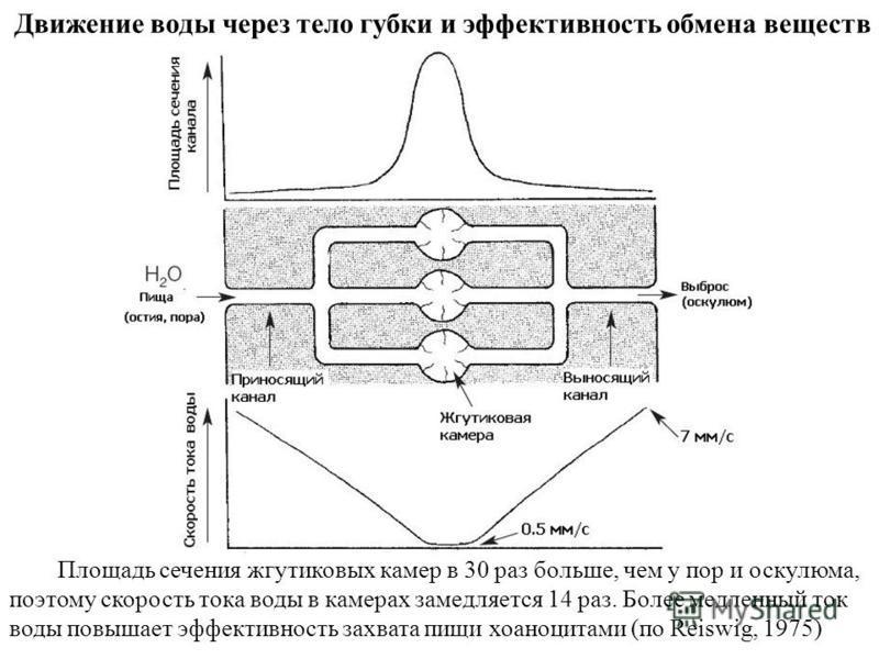 Движение воды через тело губки и эффективность обмена веществ Площадь сечения жгутиковых камер в 30 раз больше, чем у пор и оскулюма, поэтому скорость тока воды в камерах замедляется 14 раз. Более медленный ток воды повышает эффективность захвата пищ
