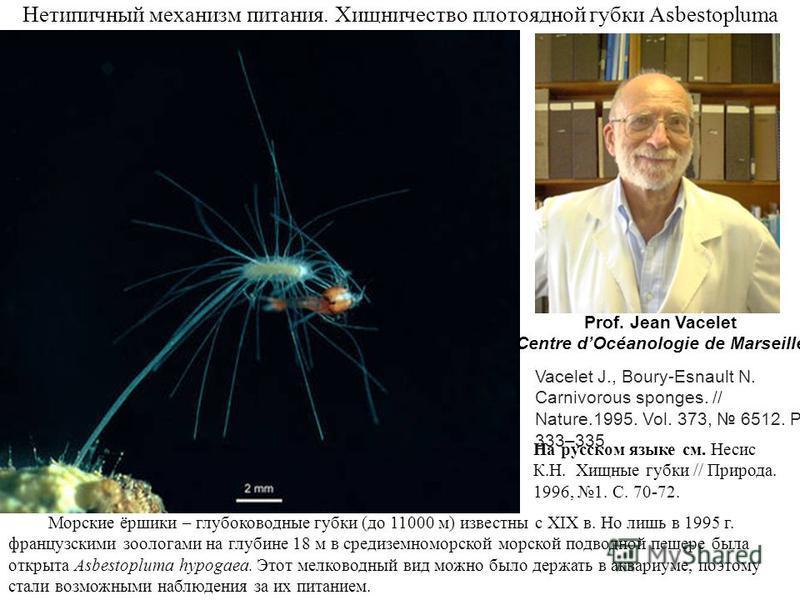 Нетипичный механизм питания. Хищничество плотоядной губки Asbestopluma Морские ёршики – глубоководные губки (до 11000 м) известны с XIX в. Но лишь в 1995 г. французскими зоологами на глубине 18 м в средиземноморской морской подводной пещере была откр
