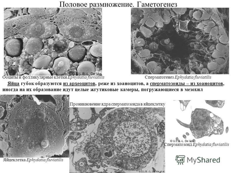 Половое размножение. Гаметогенез Ооциты и фолликулярные клетки Ephydatia fluviatilis Яйцеклетка Ephydatia fluviatilis Сперматогенез Ephydatia fluviatilis Сперматозоид Ephydatia fluviatilis Проникновение ядра сперматозоида в яйцеклетку Яйца губок обра