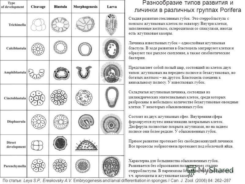 Разнообразие типов развития и личинки в различных группах Porifera По статье: Leys S.P., Ereskovsky A.V. Embryogenesis and larval differentiation in sponges // Can. J. Zool. (2006) 84: 262–287 Стадия развития стеклянных губок. Это стерробластула с по