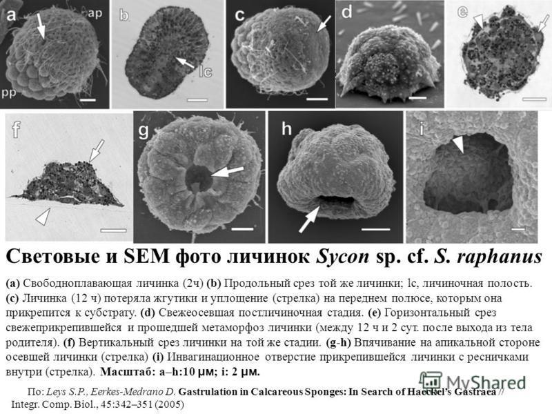 Световые и SEM фото Sycon sp. cf. S. raphanus. Световые и SEM фото личинок Sycon sp. cf. S. raphanus (a) Свободноплавающая личинка (2 ч) (b) Продольный срез той же личинки; lc, личиночная полость. (c) Личинка (12 ч) потеряла жгутики и уплощение (стре