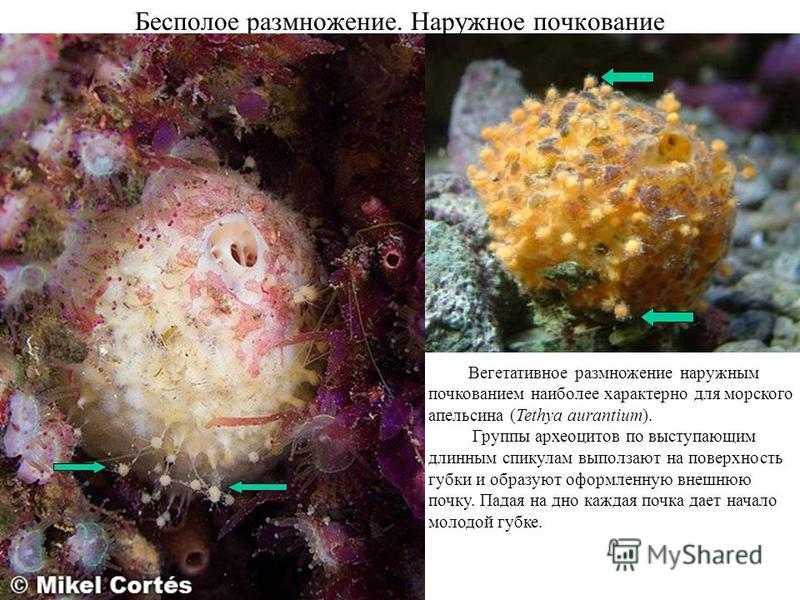 Бесполое размножение. Наружное почкование Вегетативное размножение наружным почкованием наиболее характерно для морского апельсина (Tethya aurantium). Группы археоцитов по выступающим длинным спикулам выползают на поверхность губки и образуют оформле