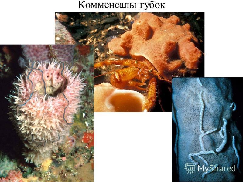 Комменсалы губок