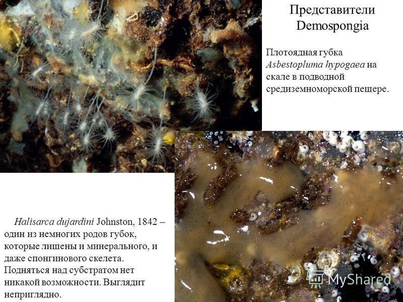 Представители Demospongia Halisarca dujardini Johnston, 1842 – один из немногих родов губок, которые лишены и минерального, и даже спонгинового скелета. Подняться над субстратом нет никакой возможности. Выглядит неприглядно. Плотоядная губка Asbestop