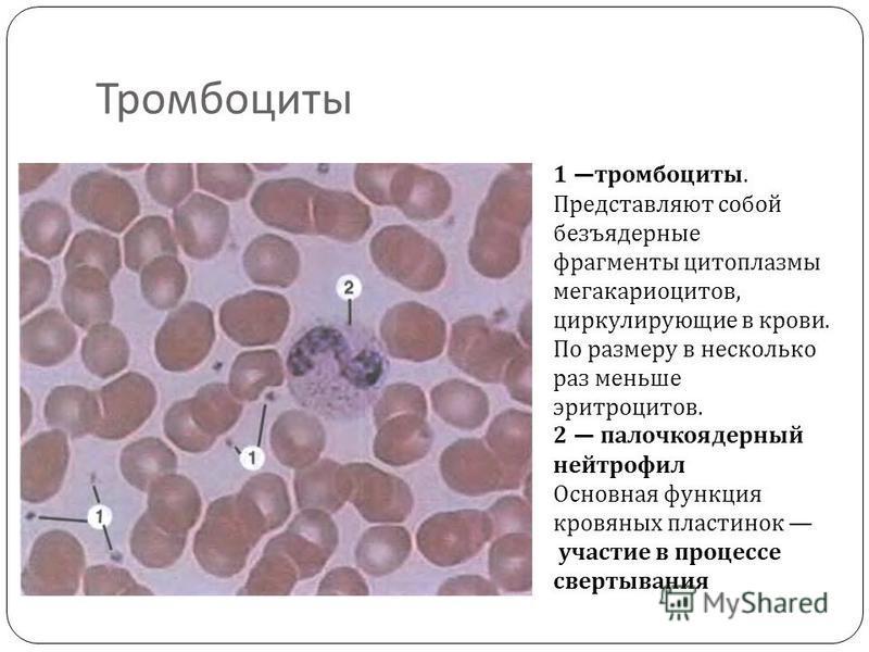 Тромбоциты 1 тромбоциты. Представляют собой безъядерные фрагменты цитоплазмы мегакариоцитов, циркулирующие в крови. По размеру в несколько раз меньше эритроцитов. 2 палочкоядерный нейтрофил Основная функция кровяных пластинок участие в процессе сверт