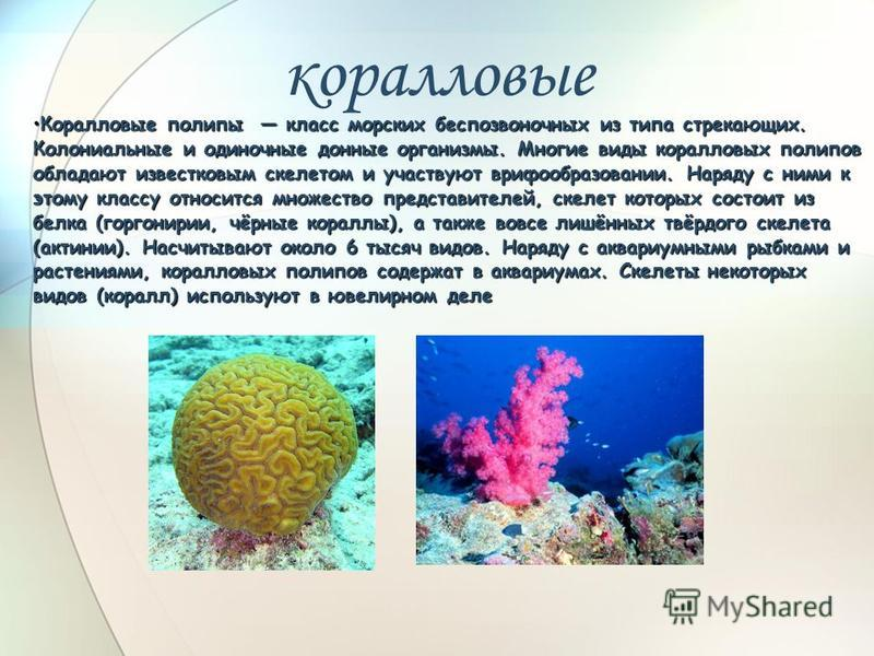 коралловые Коралловые полипы класс морских беспозвоночных из типа стрекающих. Колониальные и одиночные донные организмы. Многие виды коралловых полипов обладают известковым скелетом и участвуют врифообразовании. Наряду с ними к этому классу относится