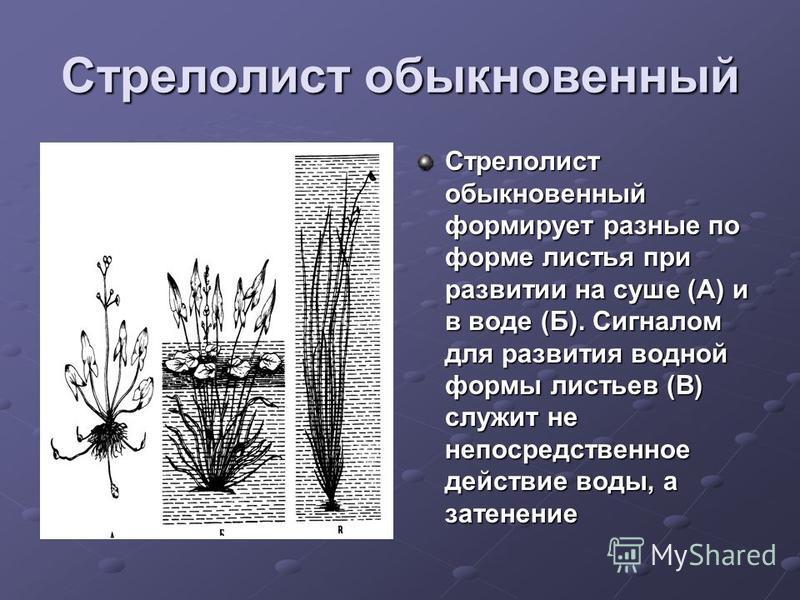 Стрелолист обыкновенный Стрелолист обыкновенный формирует разные по форме листья при развитии на суше (А) и в воде (Б). Сигналом для развития водной формы листьев (В) служит не непосредственное действие воды, а затенение