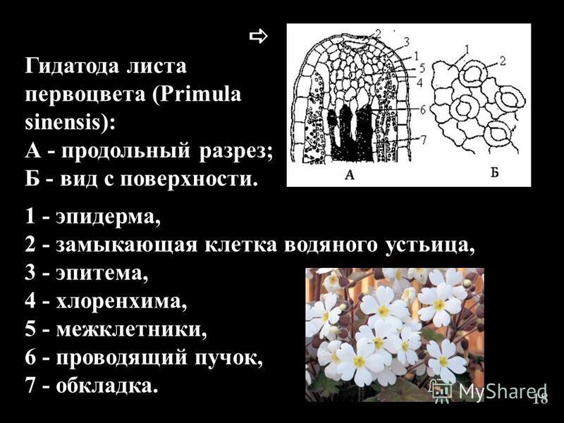 1 - эпидерма, 2 - замыкающая клетка водяного устьица, 3 - эпитема, 4 - хлоренхима, 5 - межклетники, 6 - проводящий пучок, 7 - обкладка. Гидатода листа первоцвета (Primula sinensis): А - продольный разрез; Б - вид с поверхности. 18