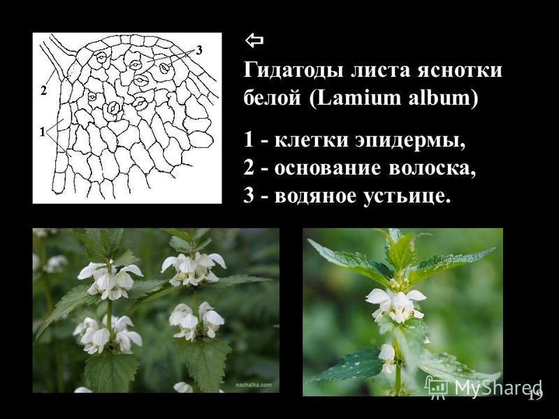 19 Гидатоды листа яснотки белой (Lamium album) 1 - клетки эпидермы, 2 - основание волоска, 3 - водяное устьице.