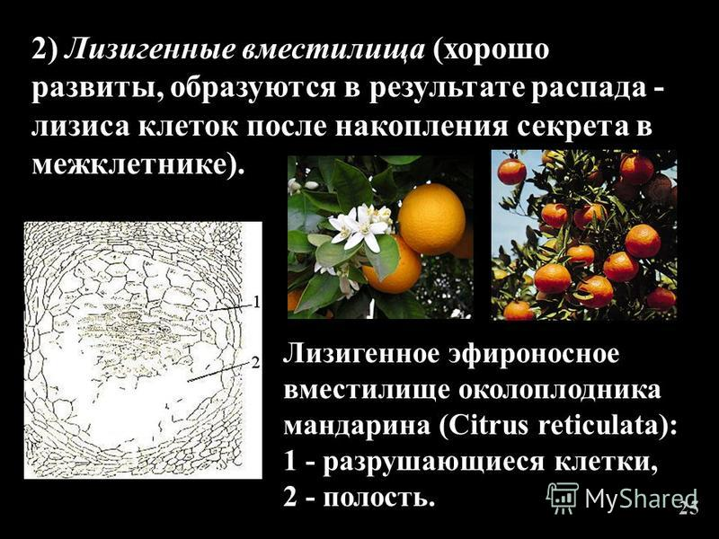 2) Лизигенные вместилища (хорошо развиты, образуются в результате распада - лизиса клеток после накопления секрета в межклетнике). 25 Лизигенное эфироносное вместилище околоплодника мандарина (Citrus reticulata): 1 - разрушающиеся клетки, 2 - полость
