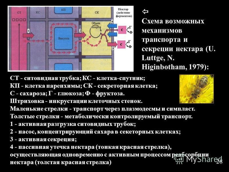 СТ - ситовидная трубка; КС - клетка-спутник; КП - клетка паренхимы; СК - секреторная клетка; С - сахароза; Г - глюкоза; Ф - фруктоза. Штриховка - инкрустации клеточных стенок. Маленькие стрелки - транспорт через плазмодесмы и симпласт. Толстые стрелк