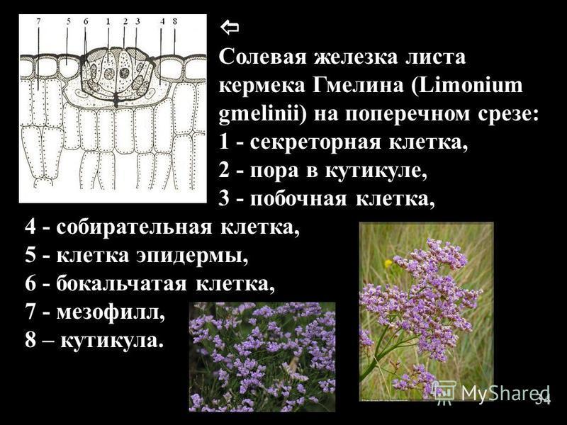 Солевая железка листа кермека Гмелина (Limonium gmelinii) на поперечном срезе: 1 - секреторная клетка, 2 - пора в кутикуле, 3 - побочная клетка, 4 - собирательная клетка, 5 - клетка эпидермы, 6 - бокальчатая клетка, 7 - мезофилл, 8 – кутикула. 3434