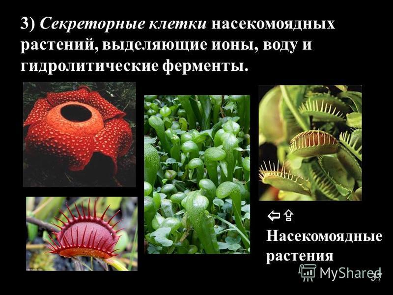 3) Секреторные клетки насекомоядных растений, выделяющие ионы, воду и гидролитические ферменты. Насекомоядные растения 37