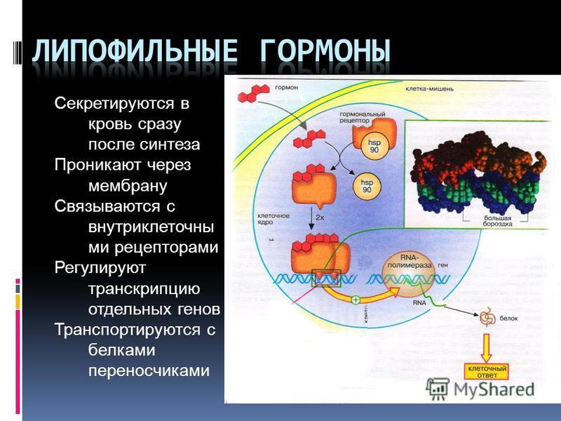 Секретируются в кровь сразу после синтеза Проникают через мембрану Связываются с внутриклеточный ми рецепторами Регулируют транскрипцию отдельных генов Транспортируются с белками переносчиками Механизм действия липофильных гормонов