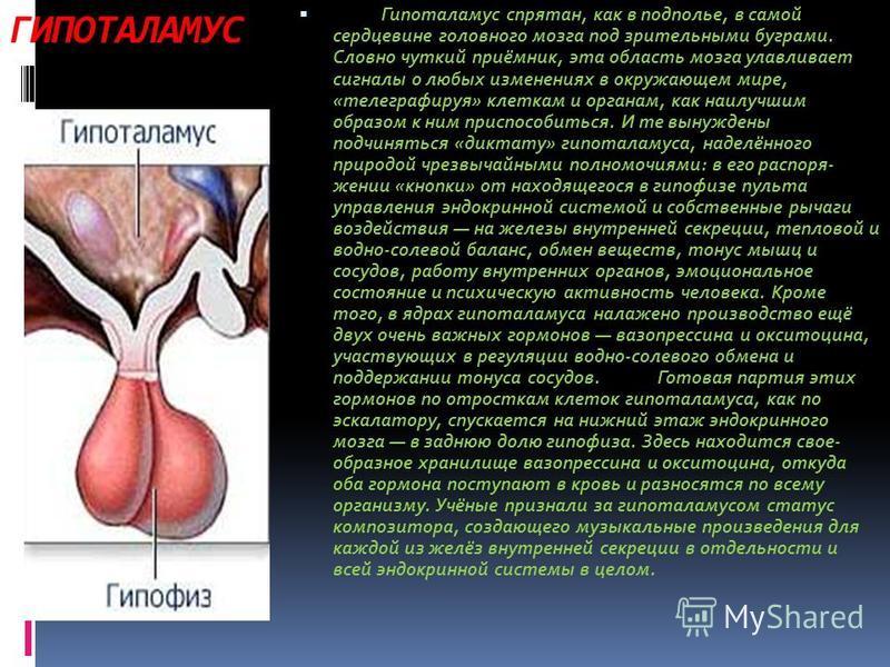 ГИПОТАЛАМУС Гипоталамус спрятан, как в подполье, в самой сердцевине головного мозга под зрительными буграми. Словно чуткий приёмник, эта область мозга улавливает сигналы о любых изменениях в окружающем мире, «телеграфируя» клеткам и органам, как наил