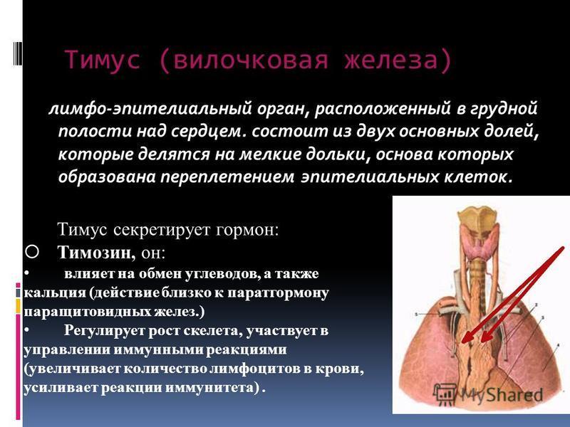 лимфо-эпителиальный орган, расположенный в грудной полости над сердцем. состоит из двух основных долей, которые делятся на мелкие дольки, основа которых образована переплетением эпителиальных клеток. Тимус (вилочковая железа) Тимус секретирует гормон