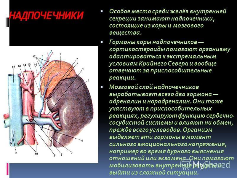 НАДПОЧЕЧНИКИ Особое место среди желёз внутренней секреции занимают надпочечники, состоящие из коры и мозгового вещества. Гормоны коры надпочечников кортикостероиды помогают организму адаптироваться к экстремальным условиям Крайнего Севера и вообще о