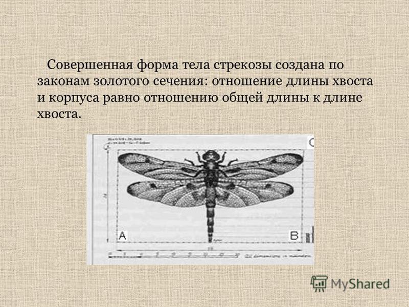 Совершенная форма тела стрекозы создана по законам золотого сечения: отношение длины хвоста и корпуса равно отношению общей длины к длине хвоста.