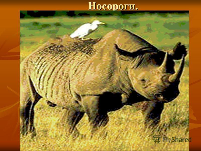 Носороги. Носороги.