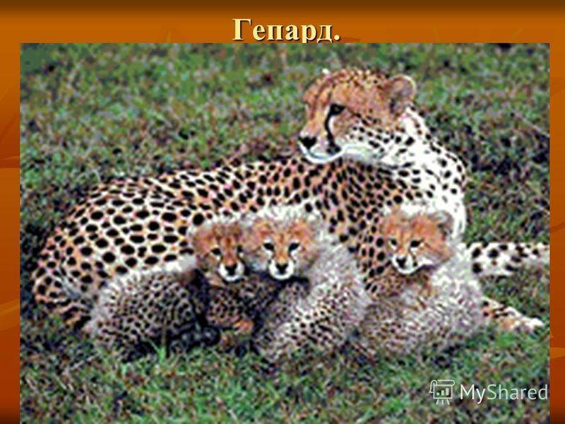 Гепард. Гепард.