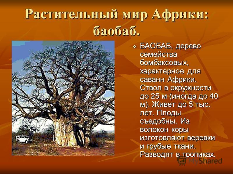 Растительный мир Африки: баобаб. БАОБАБ, дерево семейства бомбаксовых, характерное для саванн Африки. Ствол в окружности до 25 м (иногда до 40 м). Живет до 5 тыс. лет. Плоды съедобны. Из волокон коры изготовляют веревки и грубые ткани. Разводят в тро