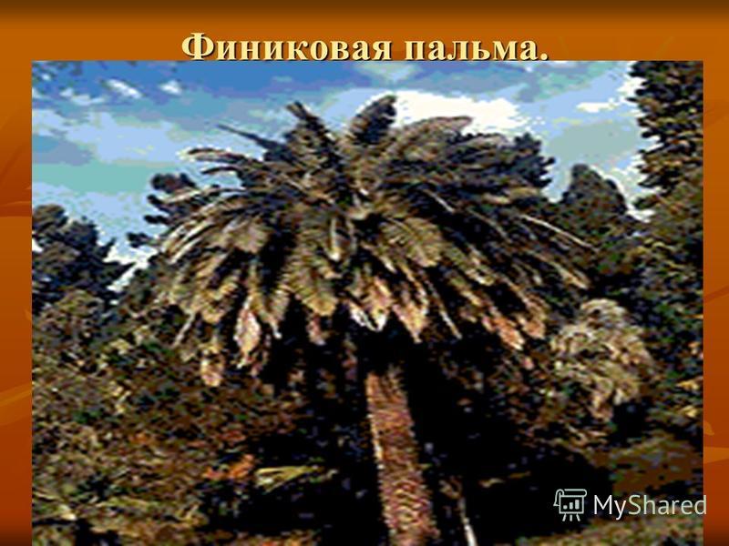 Финиковая пальма.