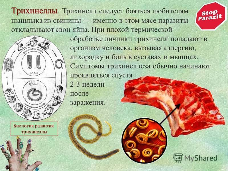 Трихинеллы Трихинеллы. Трихинелл следует бояться любителям шашлыка из свинины именно в этом мясе паразиты откладывают свои яйца. При плохой термической обработке личинки трихинелл попадают в организм человека, вызывая аллергию, лихорадку и боль в сус