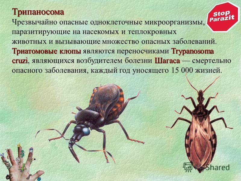 Трипаносома Чрезвычайно опасные одноклеточные микроорганизмы, паразитирующие на насекомых и теплокровных Триатомовые клопыTrypanosoma cruzi Шагаса животных и вызывающие множество опасных заболеваний. Триатомовые клопы являются переносчиками Trypanoso