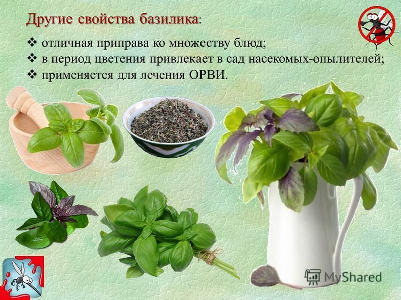 Другие свойства базилика Другие свойства базилика : отличная приправа ко множеству блюд; в период цветения привлекает в сад насекомых-опылителей; применяется для лечения ОРВИ.