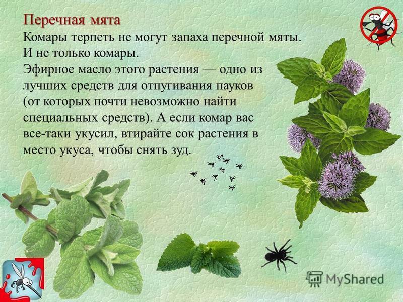 Перечная мята Комары терпеть не могут запаха перечной мяты. И не только комары. Эфирное масло этого растения одно из лучших средств для отпугивания пауков (от которых почти невозможно найти специальных средств). А если комар вас все-таки укусил, втир